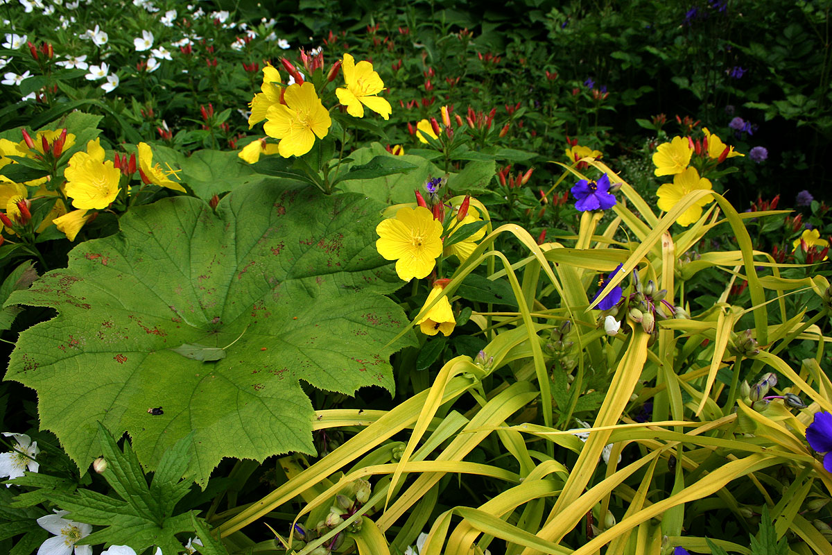 Енотера або місячний квітка: цікаві факти від садівників, хитрощі посадки та догляду