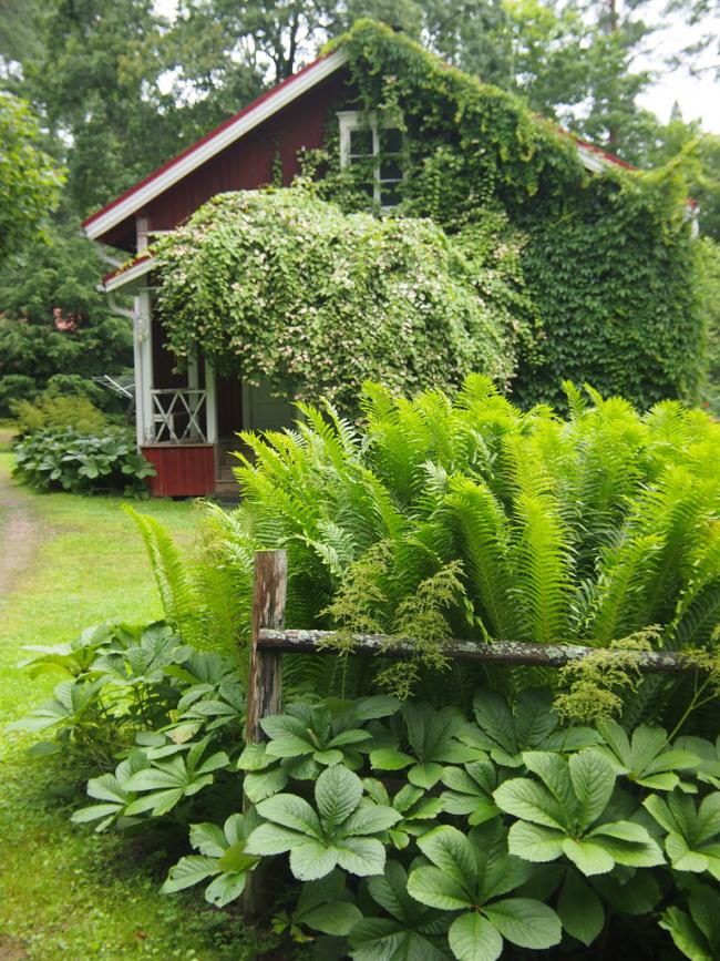 Роджерсия: сорти рослини, вибір правильної грунту і тонкощі догляду