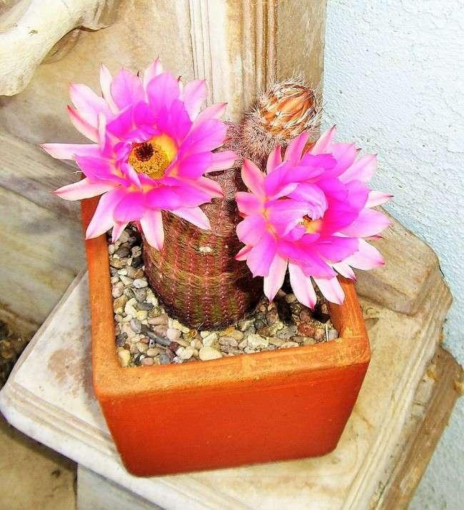 Види домашніх кактусів: тонкощі правильного догляду і як змусити кактус цвісти?