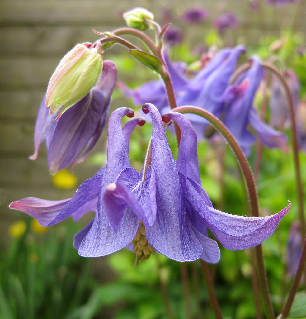 Аквілегія в садовому дизайні: посадка, догляд та вирощування многолетника
