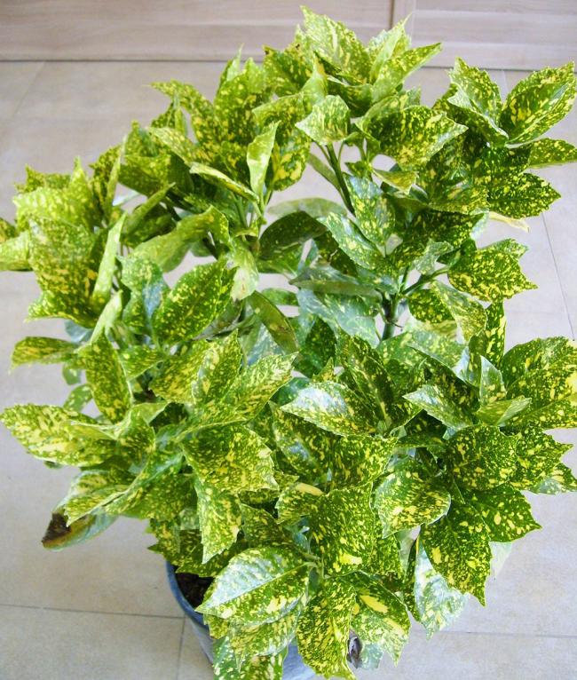 «Золоте дерево» аукуба: плямисте диво на вашому підвіконні і секрети догляду за ним