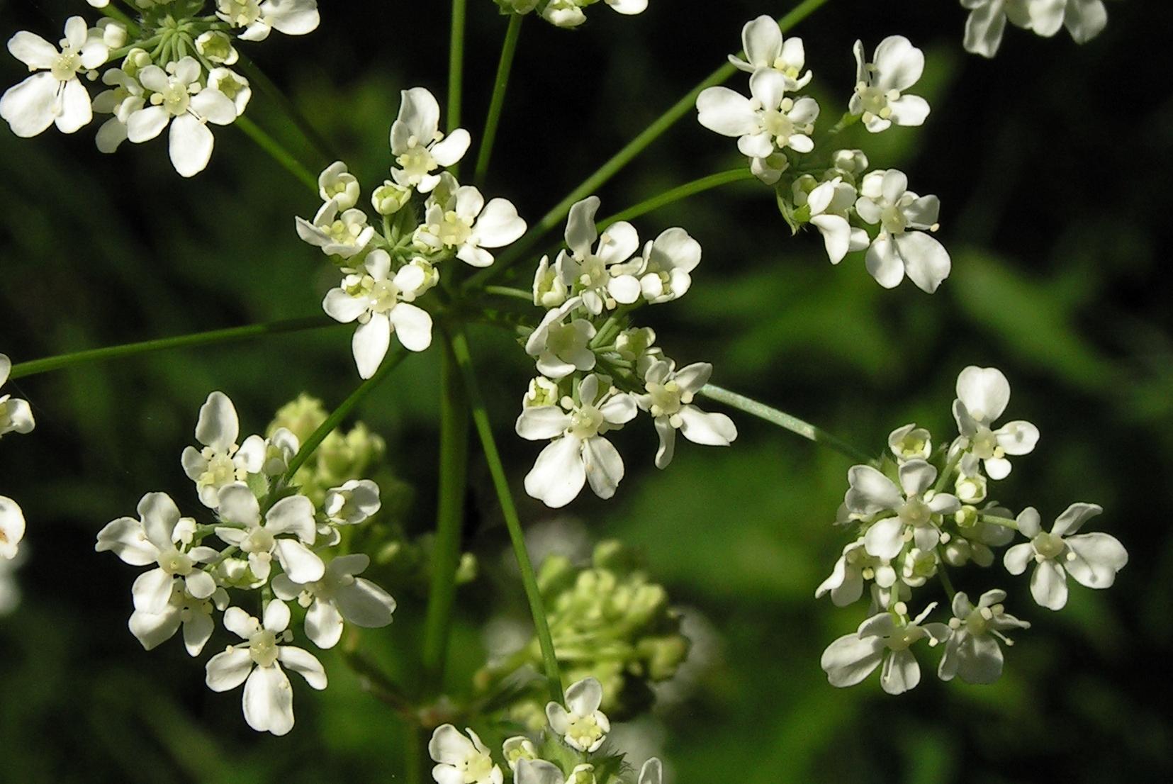Все про болиголові: опис рослин та особливості його застосування лікарського