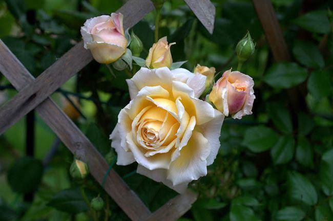 Чайно-гібридні троянди: популярні сорти і як правильно доглядати за стійкими красунями