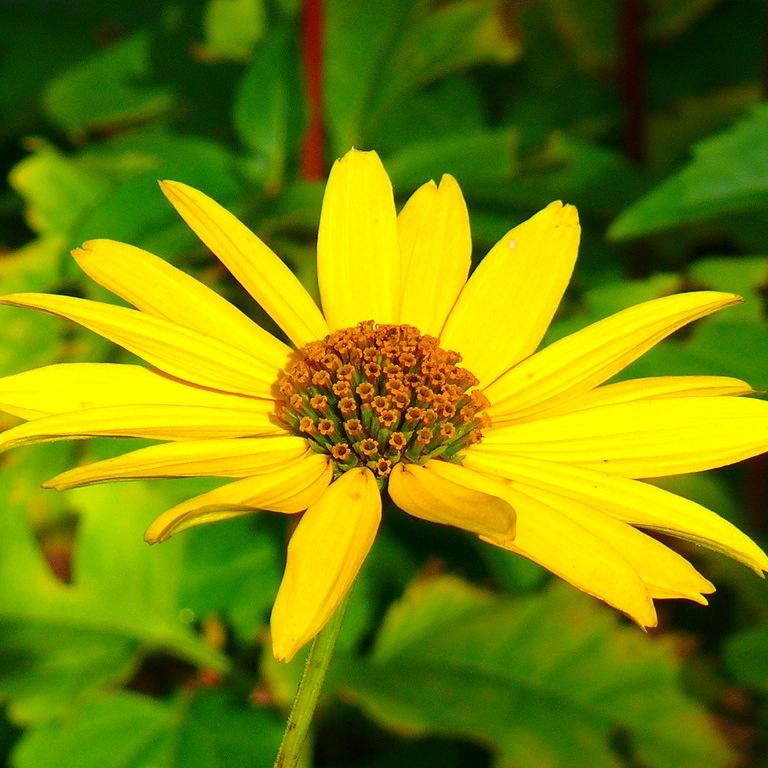 Гелиопсис: різноманітність сортів «сонячника», посадка, догляд та розмноження