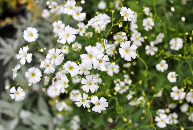 Гіпсофіла багаторічна: особливості розсади, посадки та догляду в зимовий період