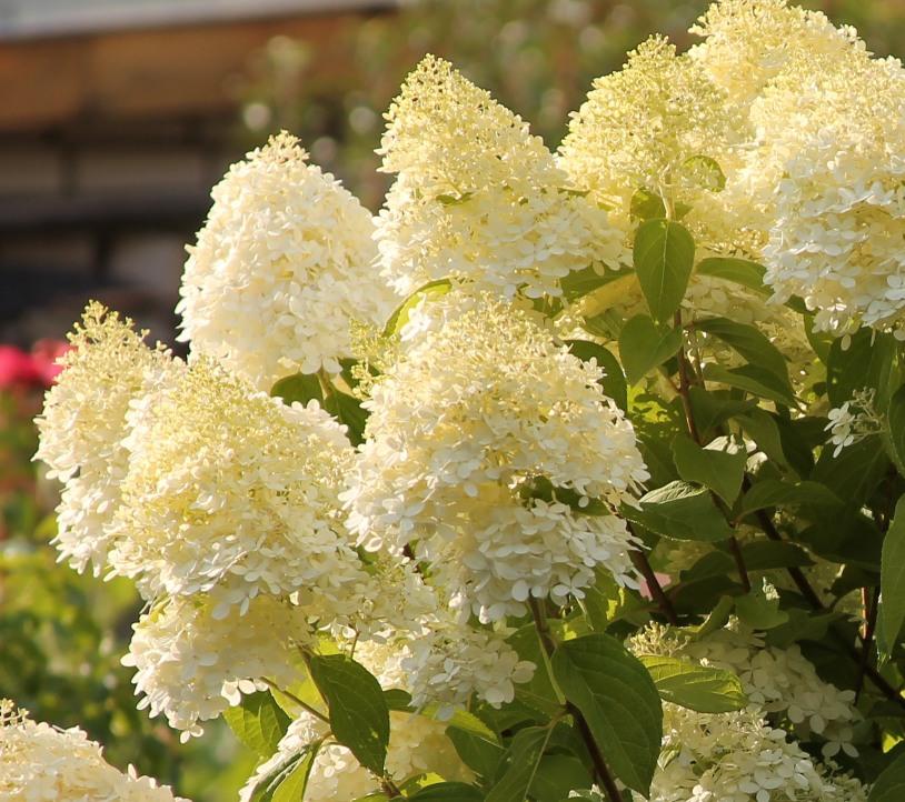 Гортензія лаймлайт: посадка і рекомендації по догляду від досвідчених садівників