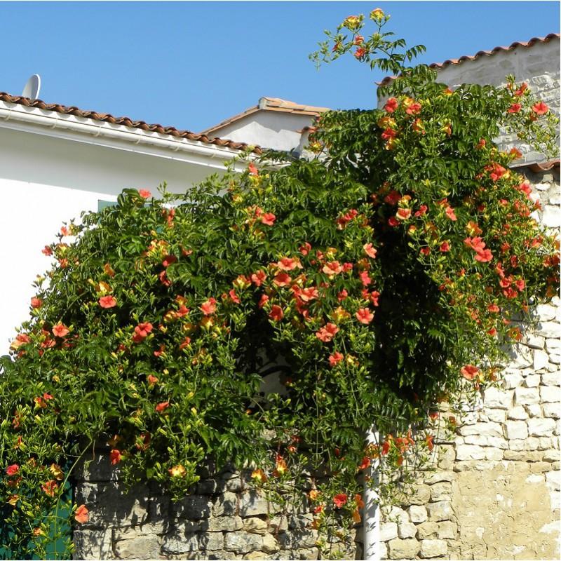 Сад без проблем: секрети садіння, вирощування та догляду за кампсисом