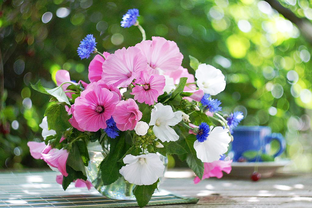 Лаватера або дика троянда: тонкощі посадки і правильного догляду від досвідчених садівників