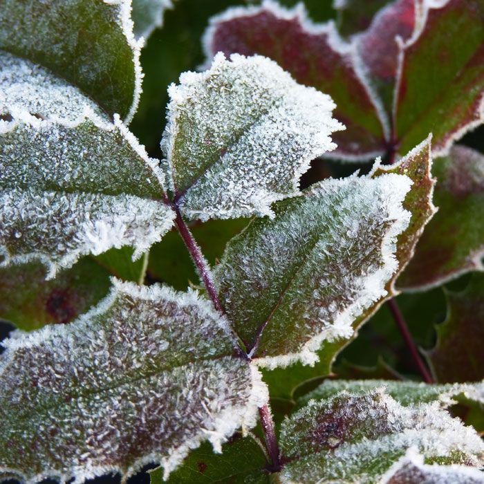 Магонія падуболиста або орегонський виноград: хитрощі розмноження, догляду та боротьби з хворобами