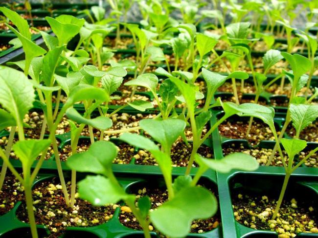 Монарда: цілющі властивості, правила грамотної садіння, вирощування та лікування