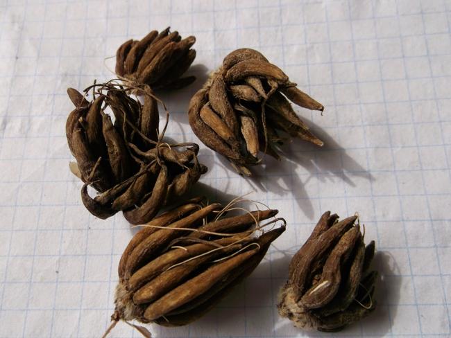 Ранункулюс (лютик): особливості садіння, вирощування та догляду у відкритому грунті